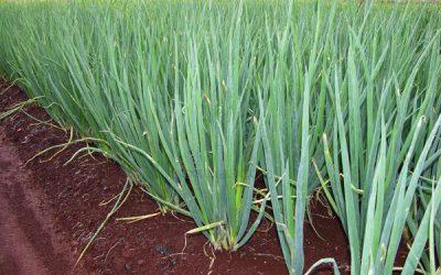Vegetable-seed-Green-Chinese-onion-80-seeds-Allium-fistulosum-scallion-Garden-Patio-Plant-bonsai-yard-balcony.jpg_640x640