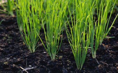 onion-from-growing-garden-organic-vegetable_24883-2442